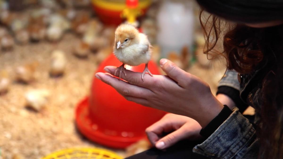 Madelaine holding chick