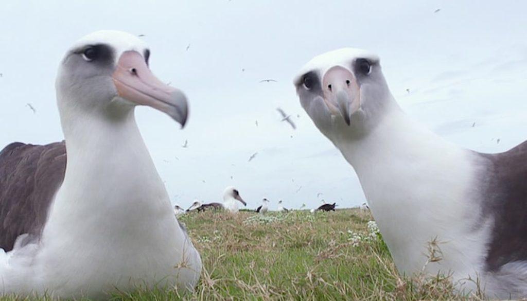 albatross 1252